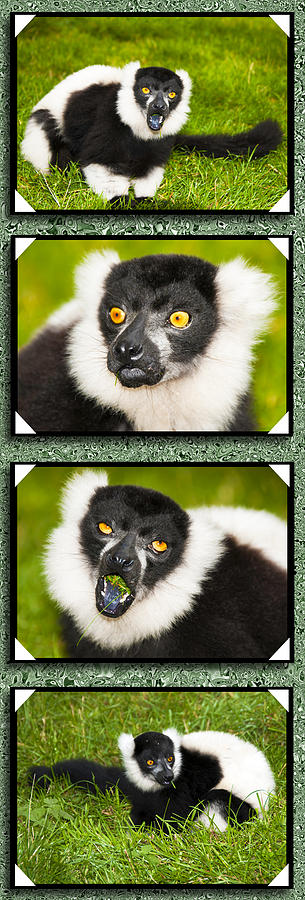 Gorgeous Lemurs Photograph