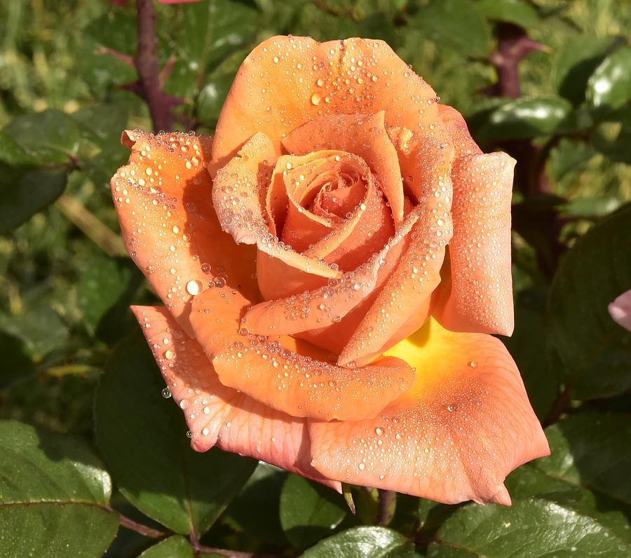 Orange Flower Photograph - Gorgeous Orange Rose Macro II by Linda Brody
