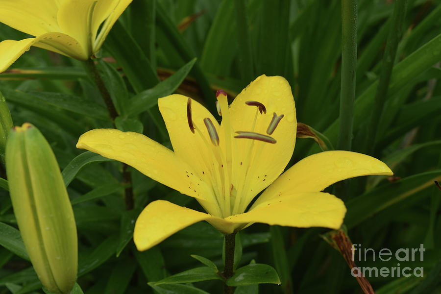 Lily Photograph - Gorgeous Yellow Lily Growing In Nature Up Close by DejaVu Designs