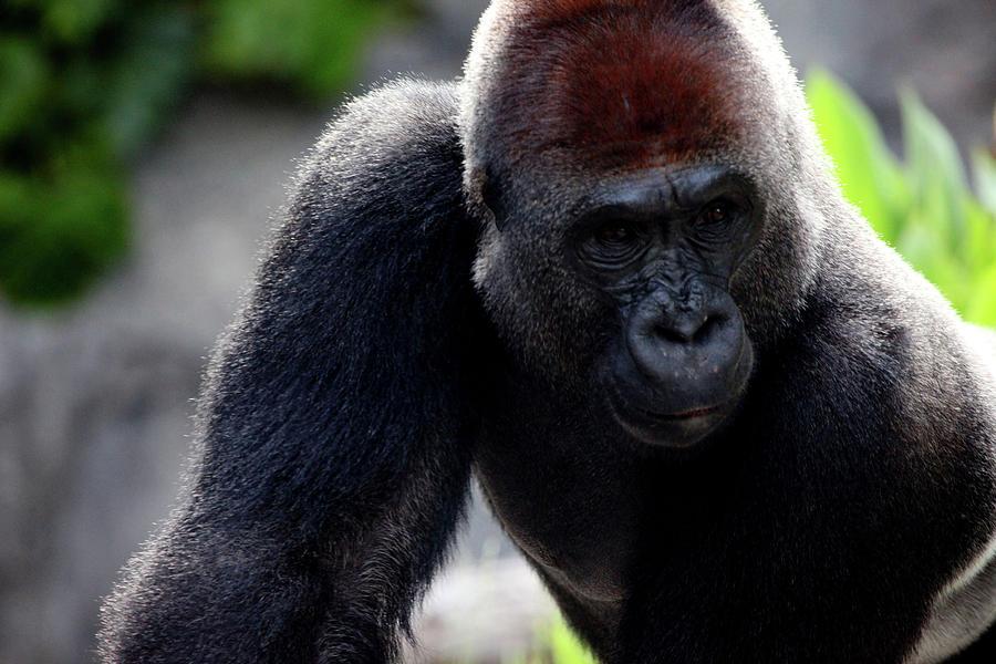 Gorilla Photograph - Gorilla by Dan Pearce