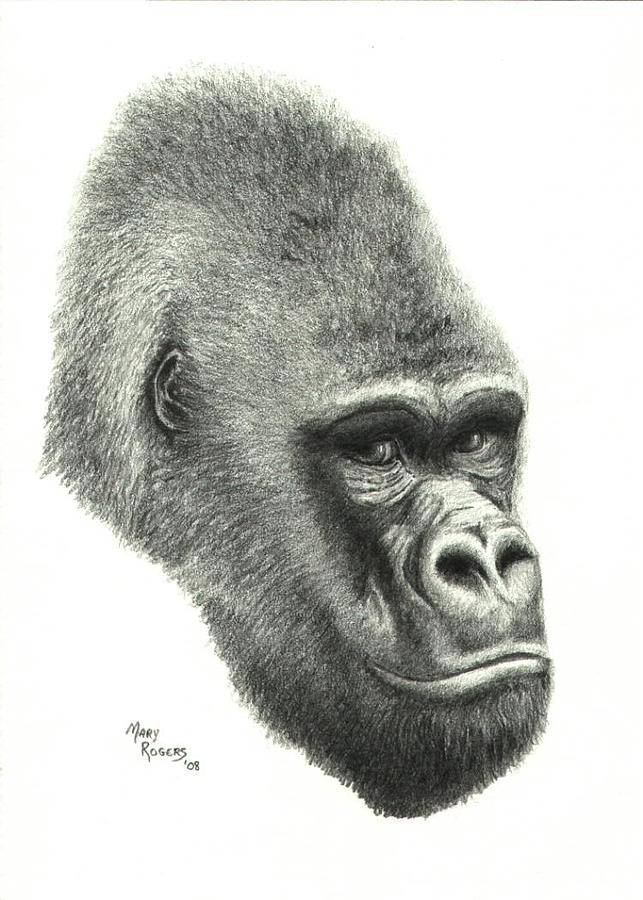 Africa Drawing - Gorilla by Mary Rogers