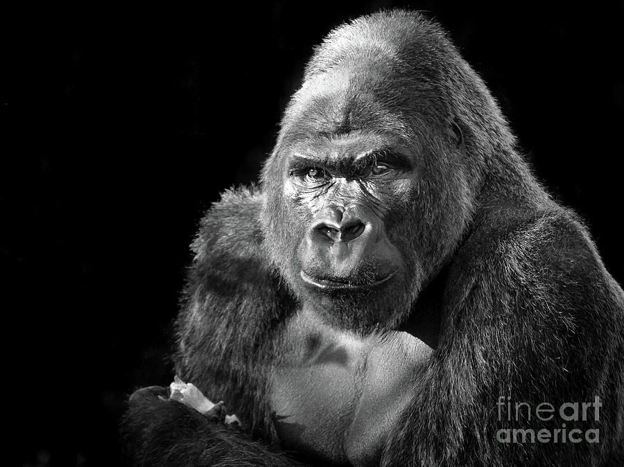 Gorilla by Paul Hennell