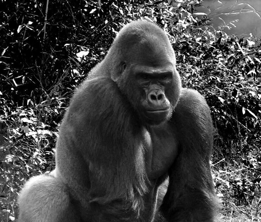 a9cd17f6de086 Gorilla Photograph - Gorilla Portrait Bw by C H Apperson