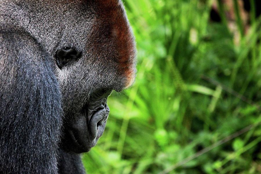 Gorilla Photograph - Gorilla Portrait by Dan Pearce