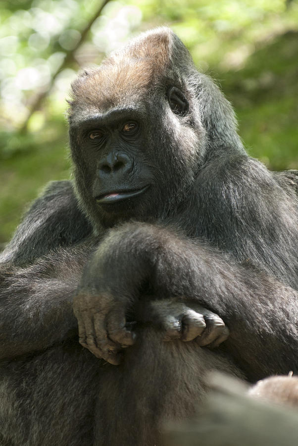 Bronx Zoo Photograph - Gorilla1 by Clifford Pugliese