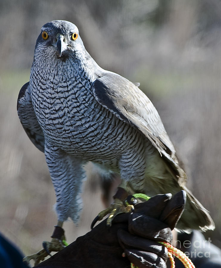 Hawks Photograph - Goshawk by Richard Verkuyl