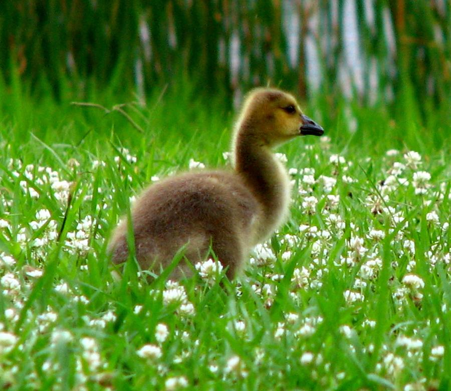 Gosling Photograph - Gosling 1 by J M Farris Photography