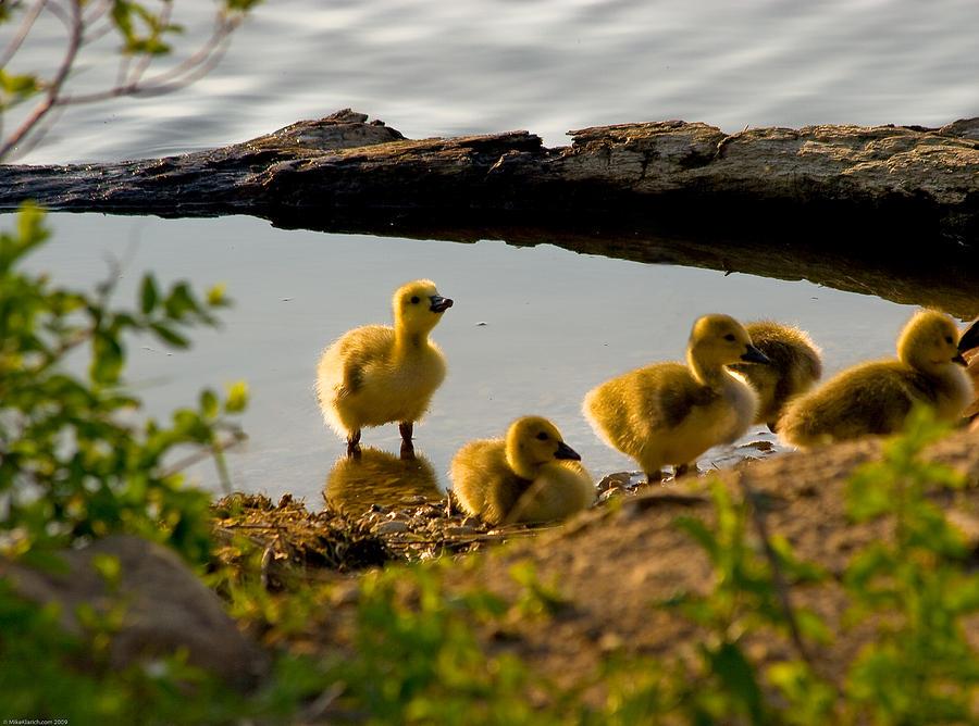 Goose Photograph - Goslings Gaze by Michael Klarich