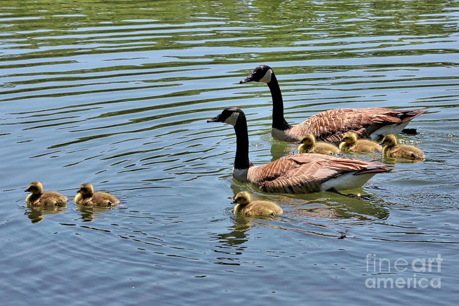 Branta Canadensis Photograph - Goslings Go For A Swim by Carol Groenen