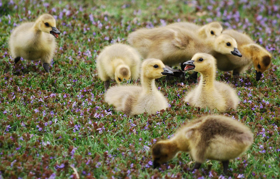 Gosling Photograph - Goslings Series - My Broker Is... by Michelle  BarlondSmith
