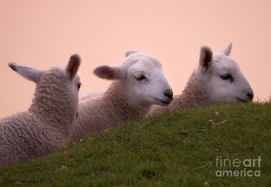 Lamb Photograph - Gossiping by Angel Ciesniarska