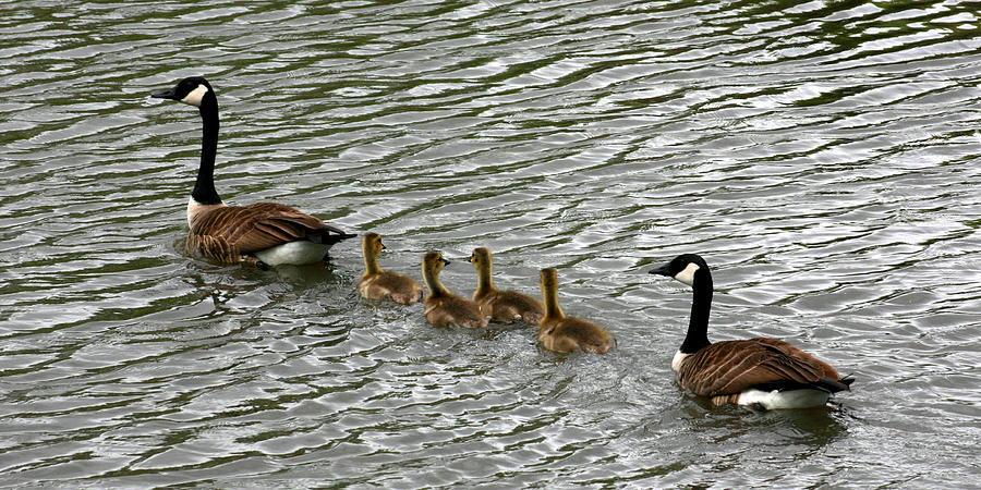 Goose Photograph - Got All Your Ducks In A Row by David Dunham