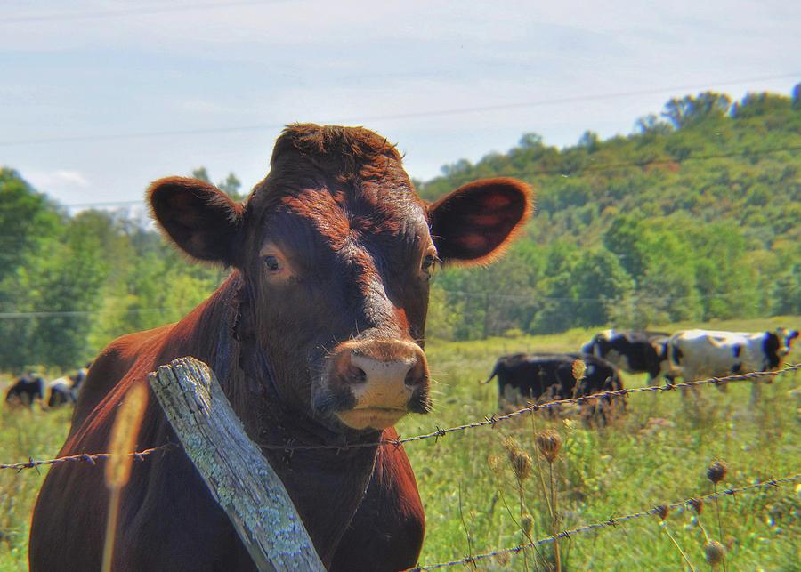 Cow Photograph - Got Milk Herd by JAMART Photography