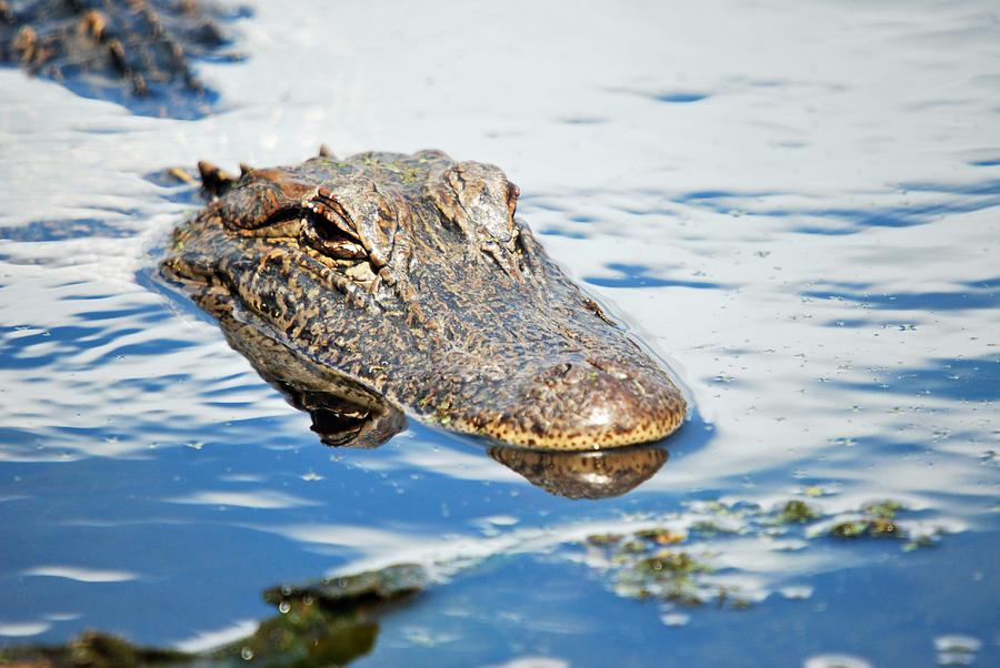 Alligator Photograph - Got My Eyes On You by Teresa Blanton