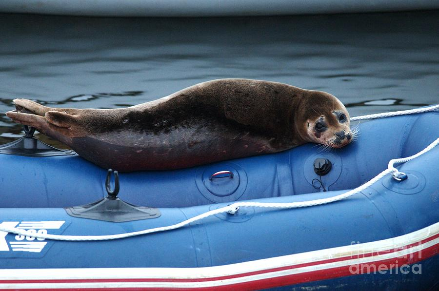 Harbor Seal Photograph - Got Salmon by Sharon Talson