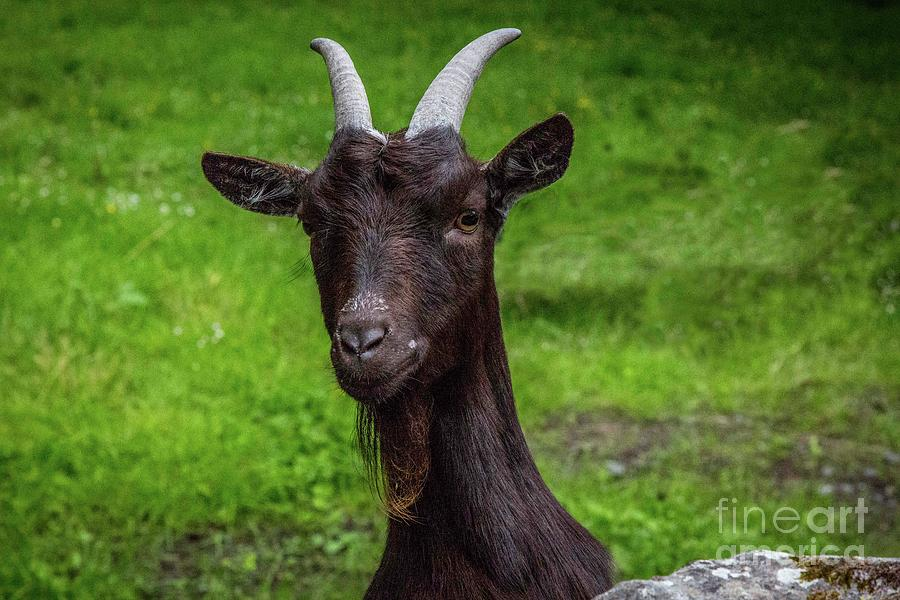 Goat Photograph - Got Something For Me? by Donna Barker