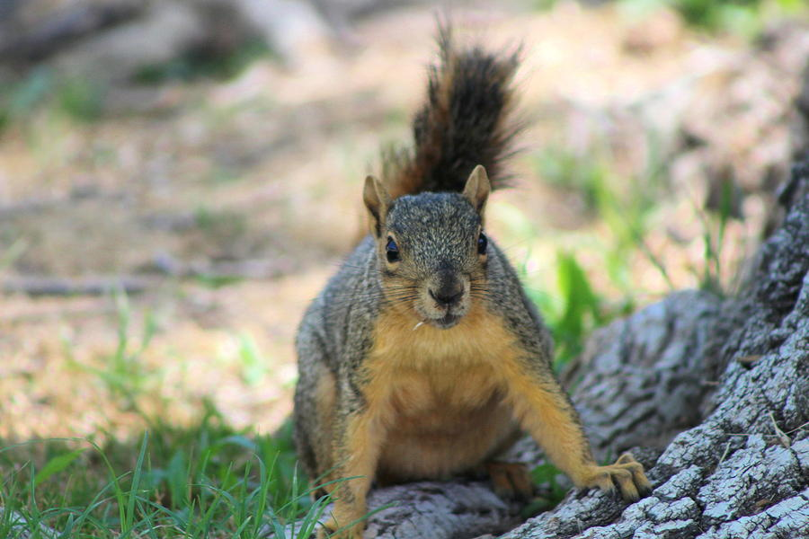 Squirrel Photograph - Got To Run by Colleen Cornelius