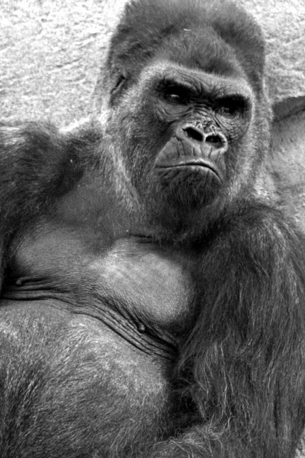 Gq Photograph - Gq Silverback Gorilla by Brad Scott