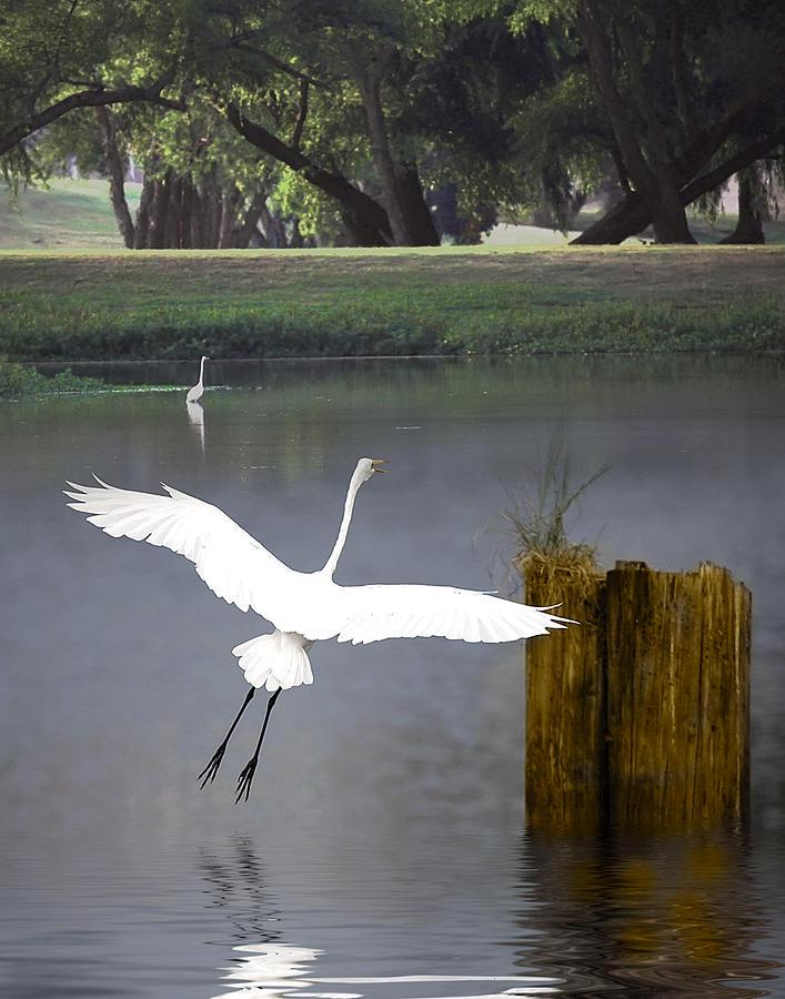 Egret Photograph - Graceful by Cecil Fuselier