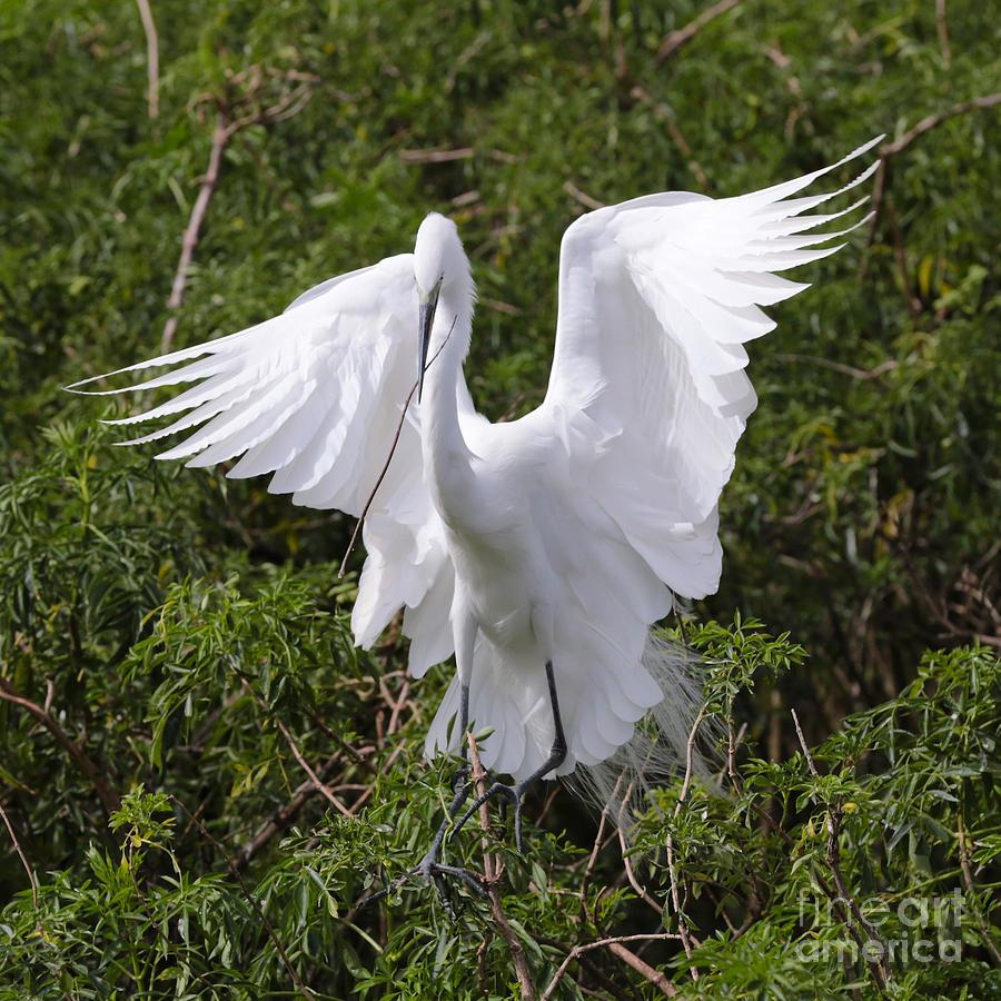 Graceful Egret Nest Builder Photograph