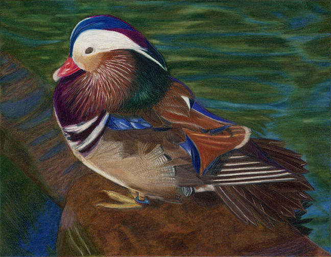 Mandarin Duck Drawing - Resplendant by Ekta Gupta