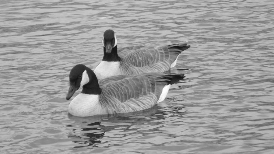 Graceful Geese Photograph
