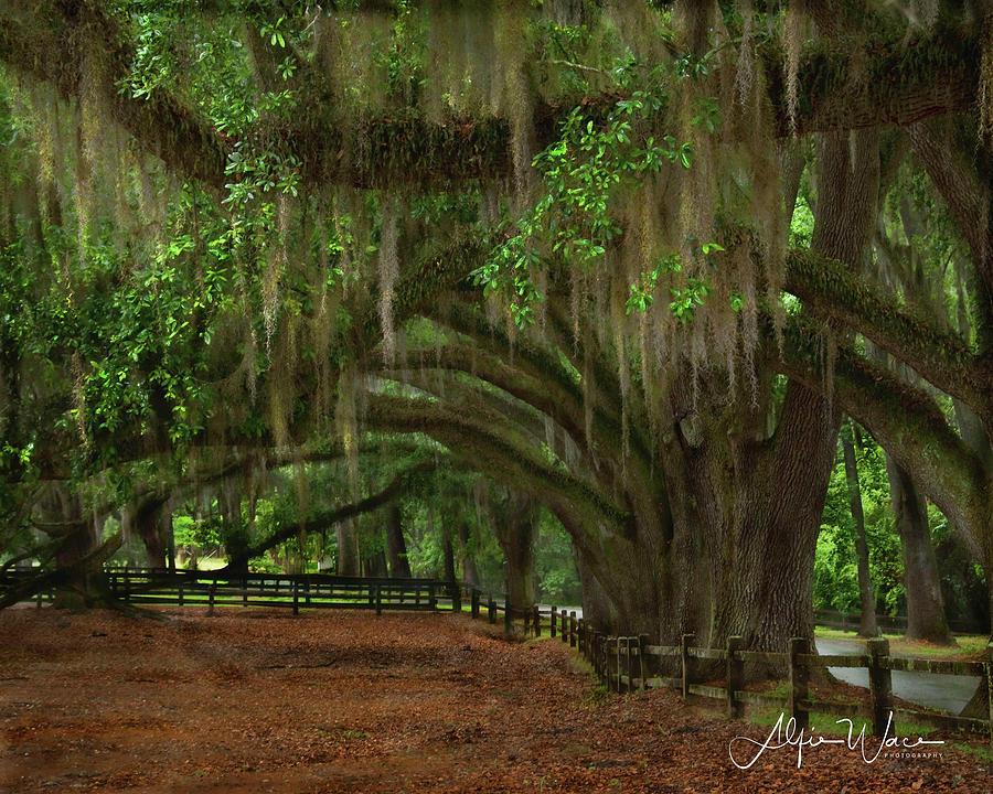 Landscape Photograph - Graceful Oaks by Alfie Wace