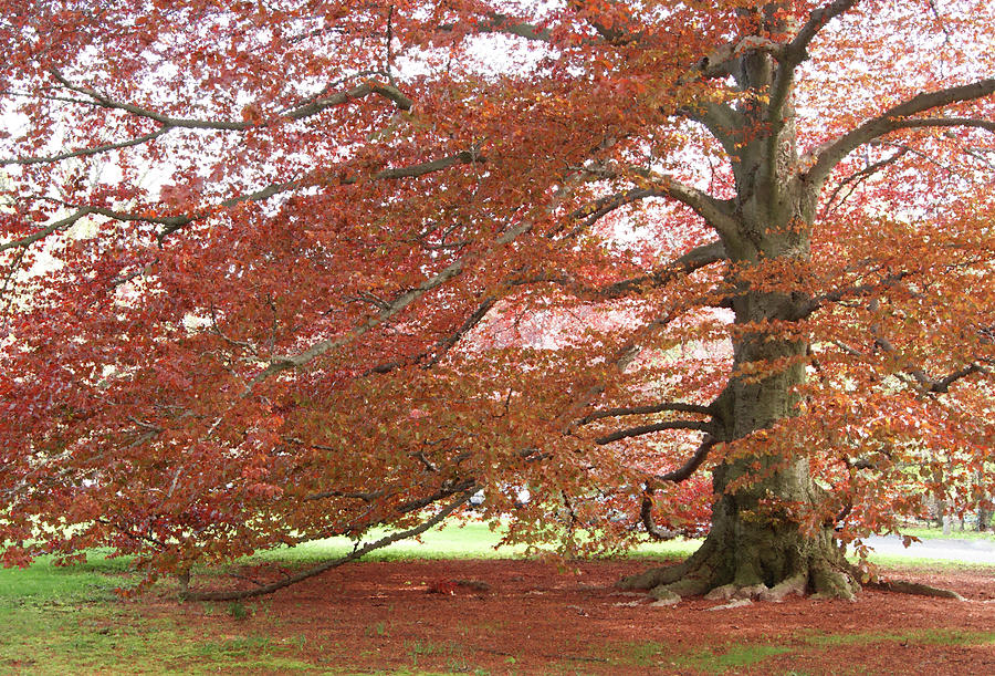 Graceful red oak tree photograph by margie avellino
