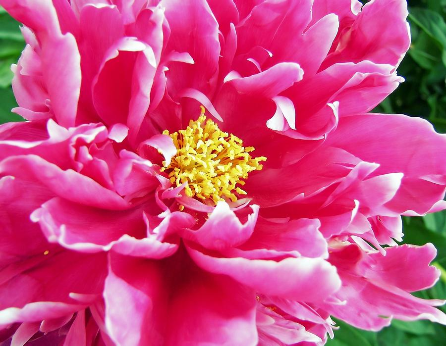 Flower Photograph - Grams Peony by JAMART Photography