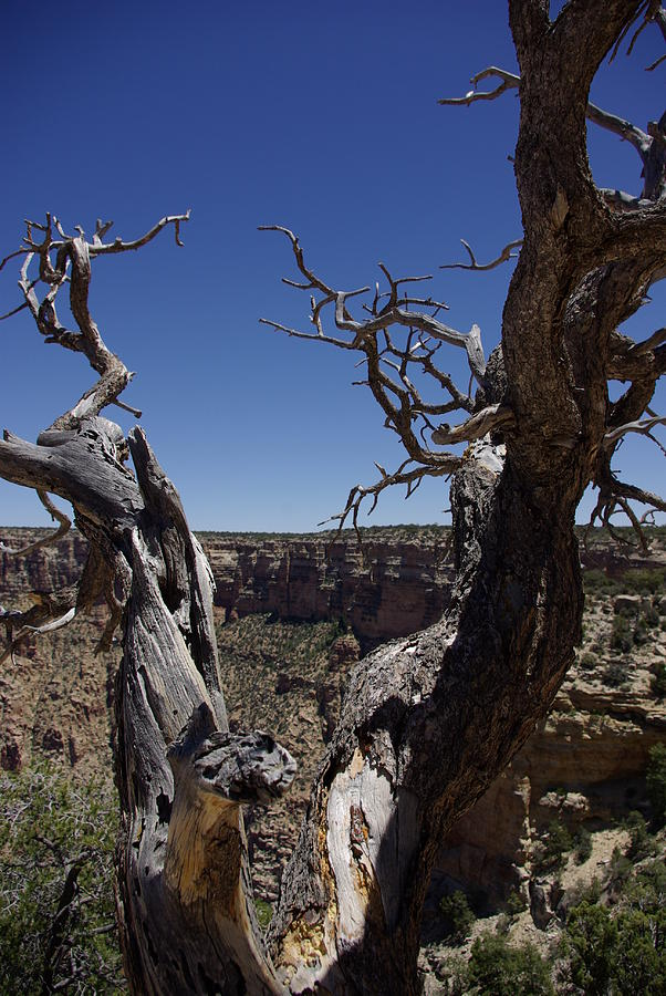 Wildlife Photograph - Grand Canyon Dead Tree by JD Schaefer