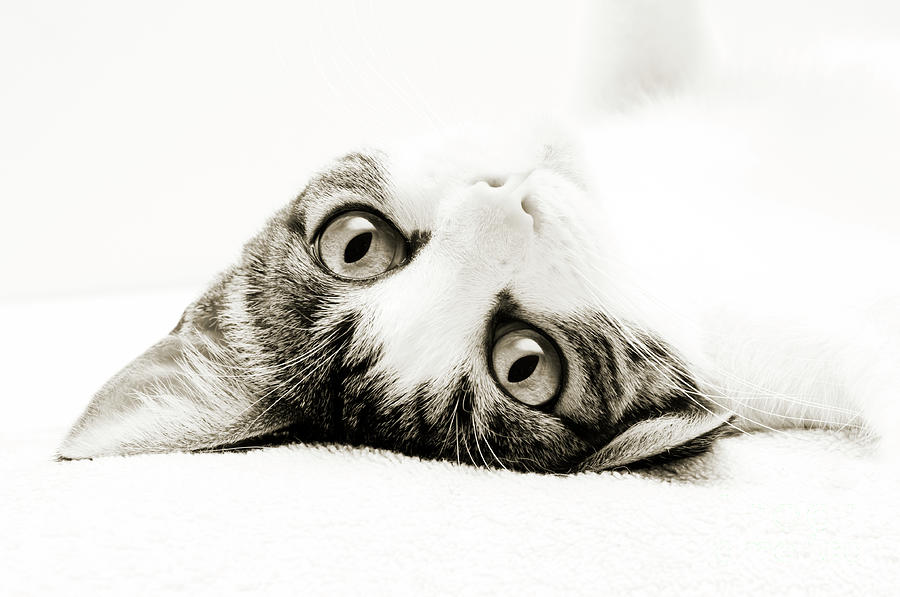 Grand Kitty Cuteness Bw Photograph by Andee Design