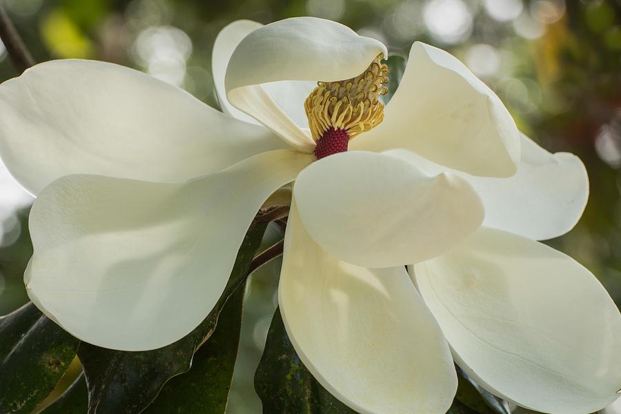 Magnolia Photograph - Grand Magnolia  by Julie Andel