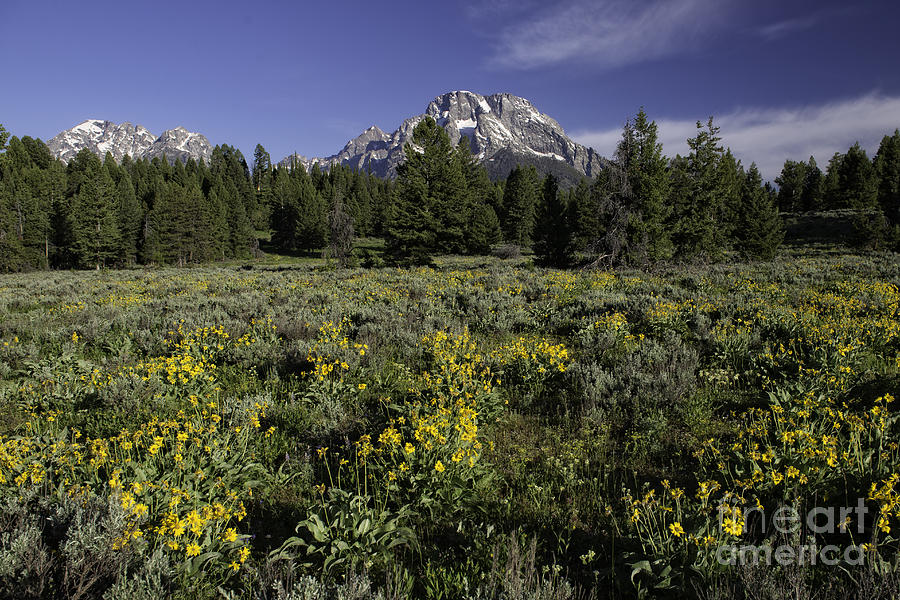 Flowers Photograph - Grand Teton Mules Ears by Tim Moore