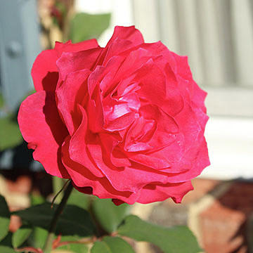 Grandma's Rose by Linda Ritlinger