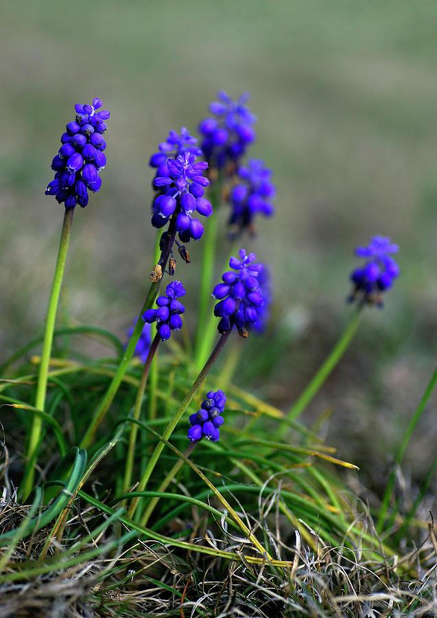 Wildflower Photograph - Grape Hyacinth by Bill Morgenstern