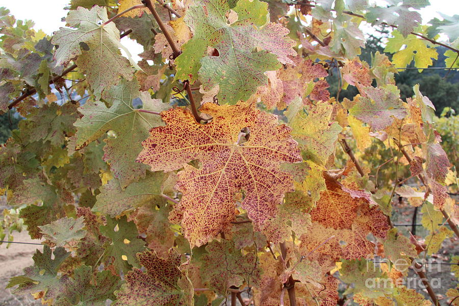 Lux Photograph - Grape Leaves by Anthony Jones