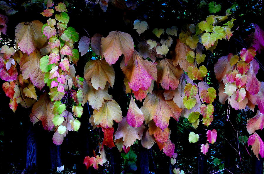 Red Photograph - Grape Leaves In Fall by David Gardner