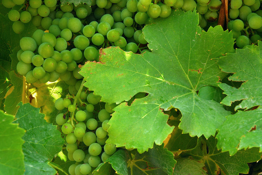 Provence Photograph - Grape Vine Heavy With Green Grapes by Anne Keiser