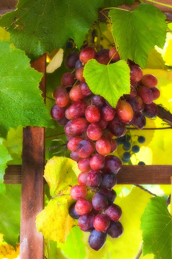 Grape Photograph - Grape Vine by Utah Images