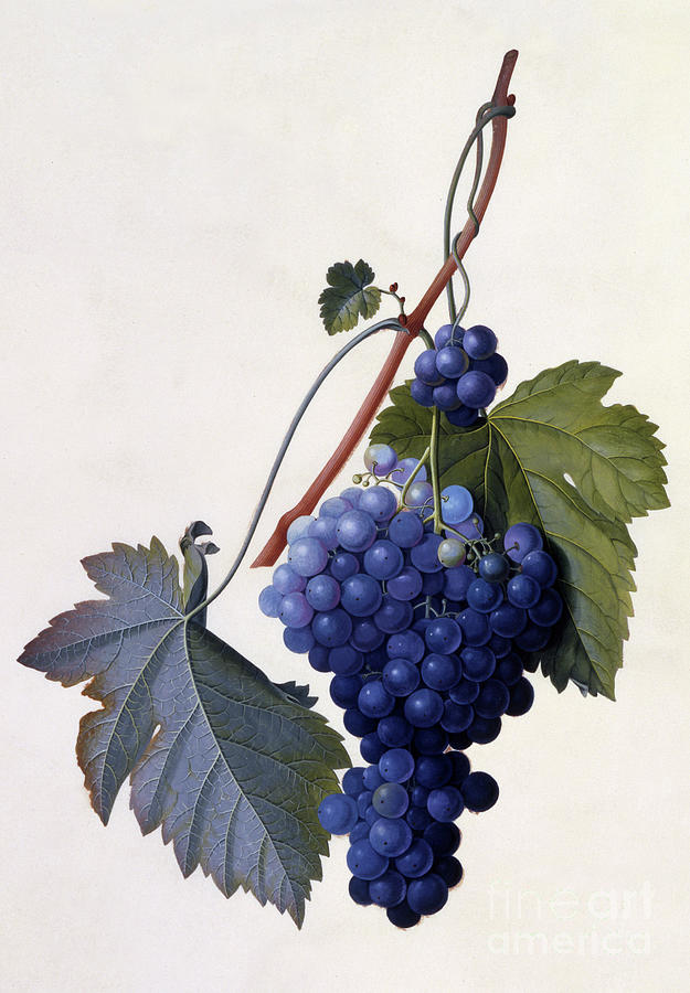 Grape Painting - Grapes by Georg Dionysius Ehret