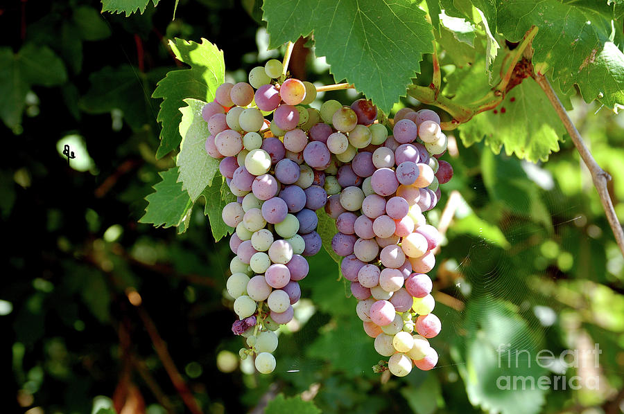 Grapes Photograph - Grapes In Color  by Frank Stallone