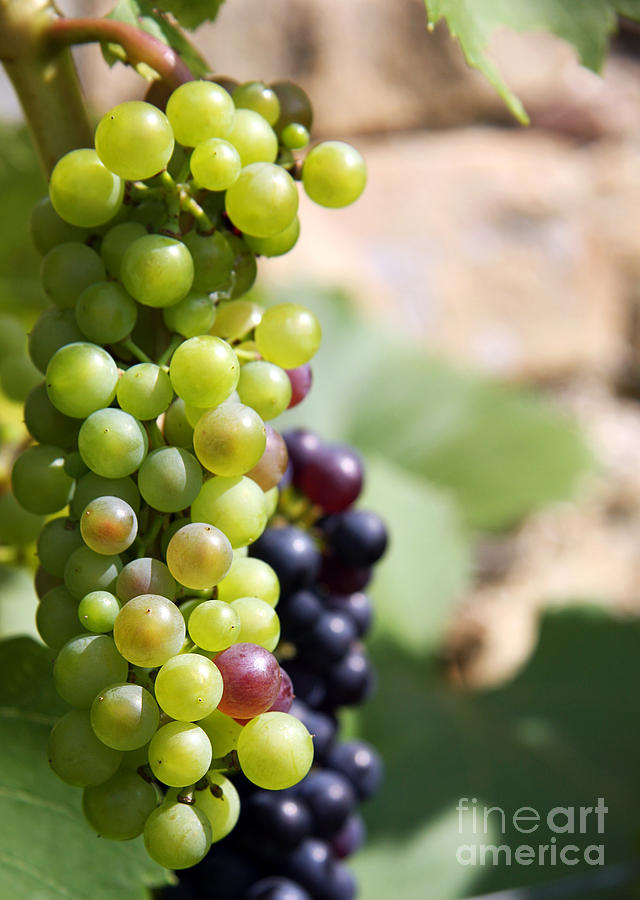 Agricultural Photograph - Grapes by Jane Rix