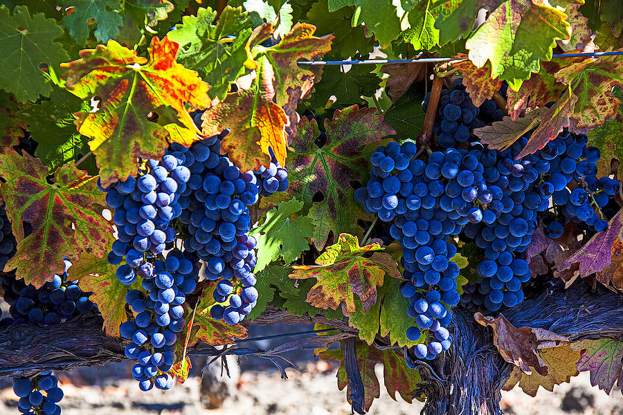 Grapes Photograph - Grapes Ready For Harvest by Garry Gay