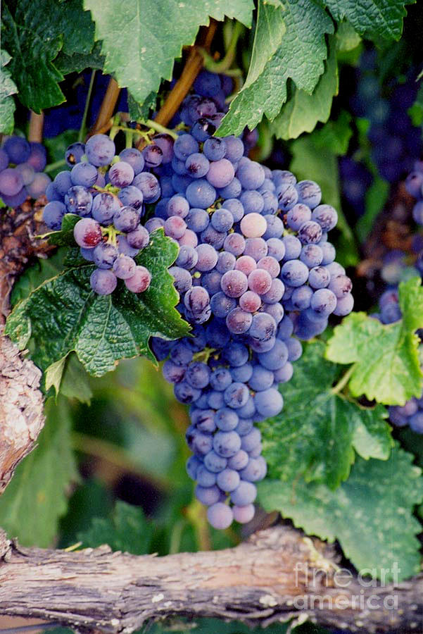 Grapes Photograph - Grapes by Sandy Adams