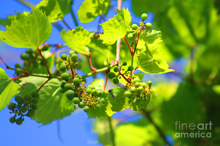 Nature Photograph - Grapevine by Don Baker