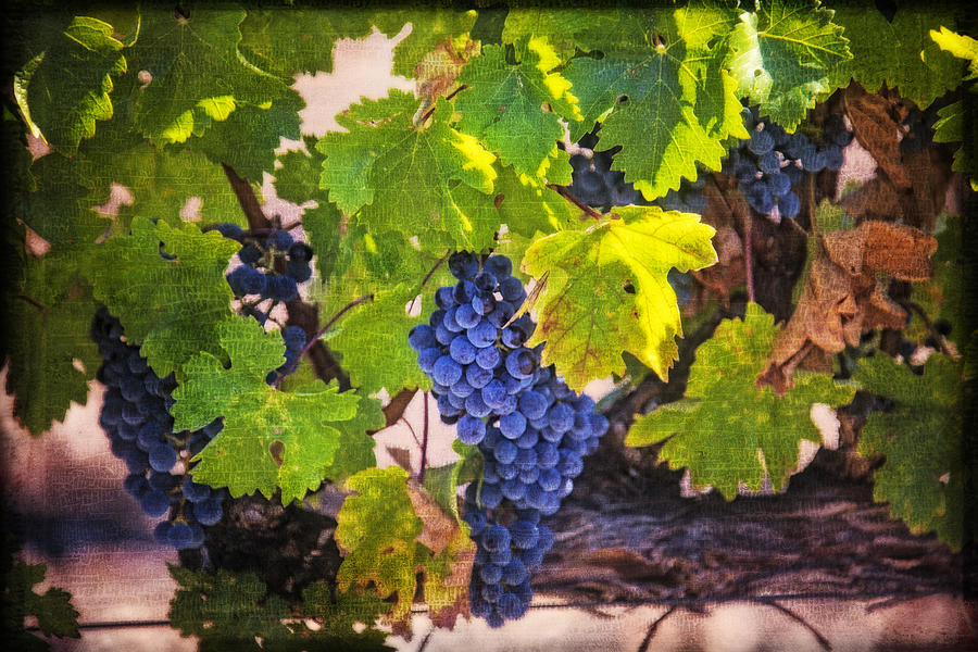 Grapes Photograph - Grapevine With Texture by Garry Gay