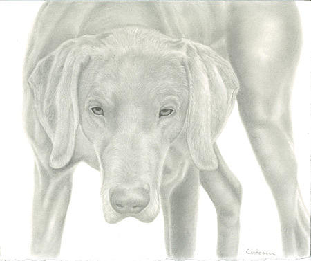 Dog Drawing - Graphite Portrait Of Dog by Tracey Costescu