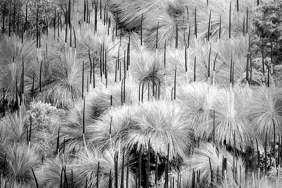 Grass Tree Symphony 1 by Stuart Mackenzie