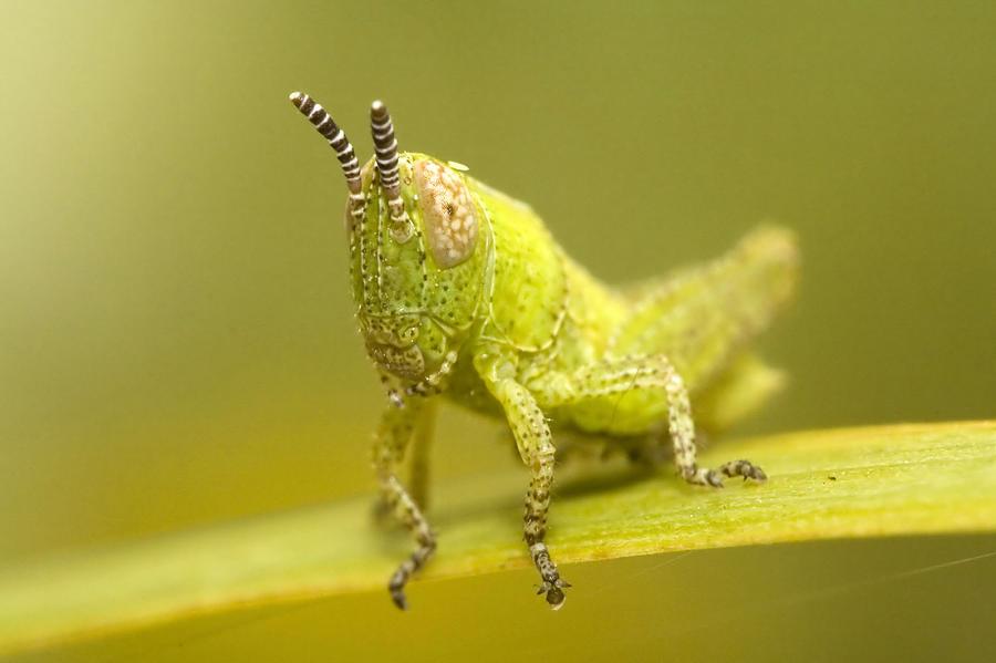 Beetle Photograph - Grasshopper by Andre Goncalves