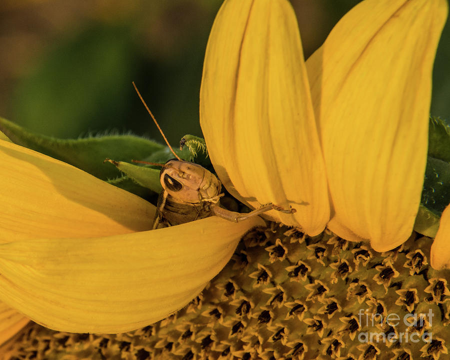 Grasshopper Photograph - Grasshopper In Sunflower by John Greco